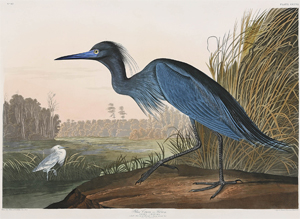 John James Audubon's 'Blue Crane, or Heron' sold for a record $82,250. Image courtesy Neal Auction Co.