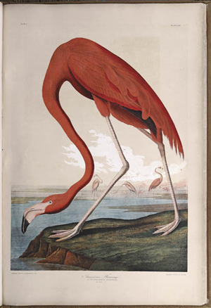 John James Audubon recorded seeing a flock of flamingos for the first time along the coast of southeast Florida on May 7, 1832. He pictured a male flamingo in his book 'The Birds of America.' The chromolithograph print based on Audubon's original drawings was also included in the 1860 Bien Edition of 'The Birds of America.' Neal Auction Co., New Orleans, recently sold a nearly complete Bien Edition for $271,999. Image courtesy Neal Auction Co.
