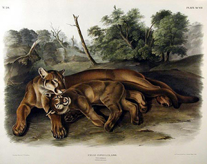 Cougar (Plate XCVII), Works of John James Audubon, Viviparous Quadrupeds of North America. Published: New York 1845-48. Hand-colored lithograph measuring 27 3/4 inches by 21 1/2 inches. Image appears courtesy of Arader Galleries, www.aradergalleries.com.