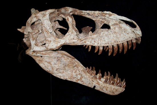This Tarbosaurus skull, on the stand of Dorset-based fossil dealer Chris Moore at the London International Fine Art Fair at Olympia, where it was priced at £130,000 ($190,000), was still seeking a buyer at the end of the fair. Image courtesy Chris Moore.