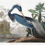 Audubon's 'Louisiana Heron,' Plate CCXVII, #217, from 'Birds of America,' hand-colored aquatint engraving, Havell Edition, sold for $137,425, almost $40,000 more than the former record price of $89,625 established by Christie's in 2004. Image courtesy of Neal Auction Co.