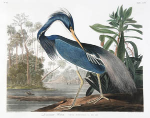 Perfect for New Orleans, the Louisiana Heron was top Audubon lot at the Neal Auction sale in September. The spectacular shorebird was purchased by a local collector for $137,425, a new record for that image. Image courtesy of Neal Auction Co., New Orleans.