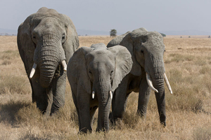 Three African bush elephants in the Serengeti. African elephants date back to the Pliocene Epoch of 5.332 million to 2.588 million years ago. Photo by ikiwaner, taken July 29, 2010. Photo permission obtained through GNU Free Documentation License, Version 1.2.