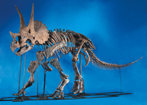 Virtually complete Triceratops skeleton. Heritage Auctions image.