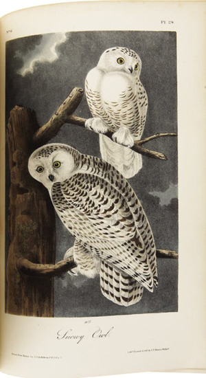 Audubon's rendition of the Snowy Owl. Image courtesy of LiveAuctioneers.com Archive and Heritage Auctions.