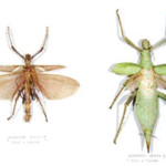 Rare mounted specimens, female (left) and male (right), of Heteropterex dilata. Origin: Perak, Malaysia. Circa 1920. Image courtesy of LiveAuctioneers.com Archive and Bloomsbury Auctions.