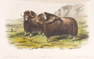 'Musk ox,' an illustration from Audubon & Bachman's 'The Quadrupeds of North America,' est. $3,000-$6,000. Image courtesy of Waverly's Rare Books.