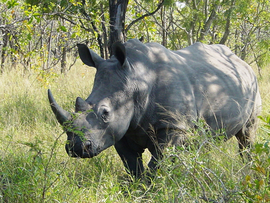 White rhinoceros in Kruger National Park, South Africa. Photo by Esculapio, licensed under the Creative Commons Attribution-Share Alike 3.0 Unported License.