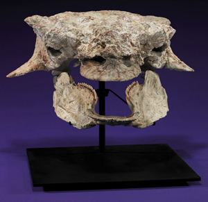"""Skull of Ankylosaurid (""""dragon""""), Cretaceous, Maastrichtian stage, 15½ in. wide, 12 in. high overall, est. $30,000-$40,000. I.M. Chait image."""