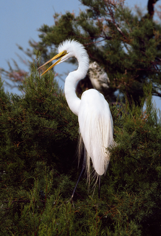 Great egret, by Roger Tory Peterson. Image courtesy of Guernsey's.