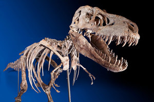 Skeleton of tyrannosaurus bataar. Image courtesy of Heritage Auctions.