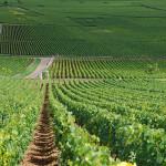 The vineyards of Chevalier-Montrachet, Montrachet and Batard-Montrachet in Puligny-Montrachet, Burgundy, France. Image by Joncaves, courtesy of Wikimedia Commons.