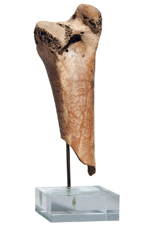 Portion of dodo femur, the first to come to auction since 1934. To be auctioned at Christie's South Kensington gallery on April 24. Est. $15,100-$22,700. Image courtesy of Christie's Images Ltd. 2013.