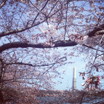 The Washington Monument visible through the blooming cherry trees in Washington DC. Photo by Tiffany Moy.