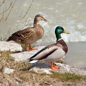 Female (left) and male mallards (wild ducks), indigenous to the temperate and subtropical Americas, Europe, Asia and North Africa. Mallards also have been introduced to New Zealand and Australia. Photo by Richard Bartz, licensed under the Creative Commons Attribution-Share Alike 2.5 Generic license.