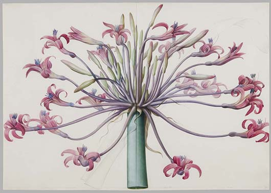 'Joséphine's March Lily, Amaryllis josephinae,' 1802-5. Pierre Joseph Redouté, French, 1759 - 1840. Watercolor over graphite on vellum, Sheet: 19 13/16 × 28 1/4 inches (50.3 × 71.8 cm). Philadelphia Museum of Art, Gift of Ira Brind, in memory of Myrna Brind, and in honor of David Brind, 2012.