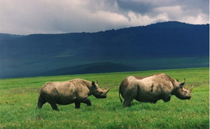 Black rhinos in Tanzania. Image by Brocken Inaglory. This file is licensed under the Creative Commons Attribution-Share Alike 3.0 Unported, 2.5 Generic, 2.0 Generic and 1.0 Generic license.