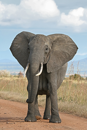 A female African Bush Elephant in Mikumi National Park, Tanzania. Photo by Muhammad Mahdi Karim, licensed under the terms of the GNU Free Documentation Licanse, Version 1.2.