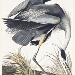 Lot 162: Audubon hand-colored engraving, 'Great Blue Heron. Area herodius.' Plate CCXI, 1834. Sold for $62,500. Leslie Hindman Auctioneers image.