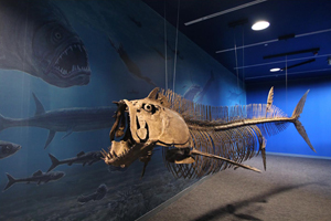 A xiphactinus skeleton at the reopened North Dakota Heritage Center. Image courtesy of the North Dakota Heritage Center.