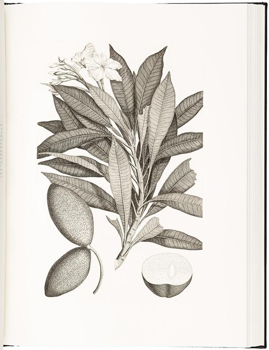 Illustration from Captain Cook's 'Florilegium.' PBA Galleries image.