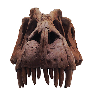 The skull of a lythronax, a recently discovered species of tyranosaur, which lived during the late Cretaceous Period, 95-70 million years ago. Copyright 2012, Natural HIstory Museum of Utah.