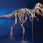 Tarbosaurus bataar skeleton, which was returned by the United States to the government of Mongolia last year. Image courtesy of Wikimedia Commons.
