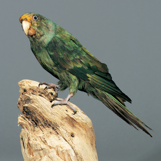 The Carolina Parakeet, an extinct bird that lived in Southeastern United States, is one of many specimens on display at the South Carolina Museum's natural history exhibit, South Carolina Unearthed. Image courtesy of the museum.