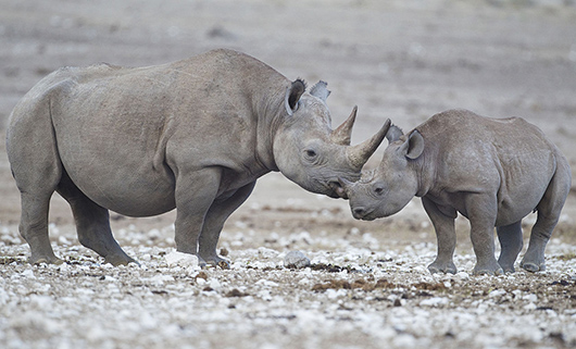 Black rhinoceros mother and calf in the Etosha National Park in Namibia. The species overall is classified as critically endangered, and one subspecies, the western black rhinoceros, was declared extinct in 2011. March 11, 2013 photo by Yathin S Krishnappa, licensed under the Creative Commons Attribution-Share Alike 3.0 Unported license.