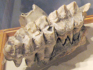 American mastodon molars at the State Museum of Pennsylvania. Image courtesy of Wikimedia Commons.