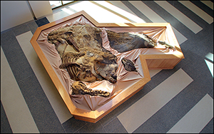 An overhead view of Dakota, the dinosaur mummy, which is on exhibit at the North Dakota Heritage Center. Image courtesy of the North Dakota Geological Survey.