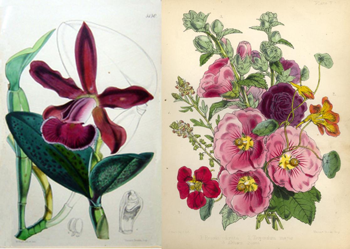 Merveilleux A Walter Fitch Illustration From U0027Popular Garden Botanyu0027 Showing Reseda  Odorata, Tropaeolum Majus