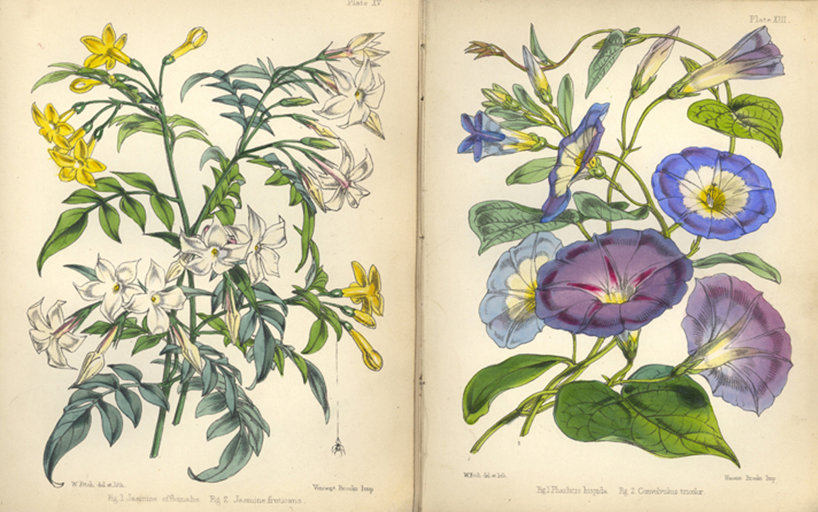 Charming Walter Fitch Illustrations From U0027Popular Garden Botanyu0027 Showing Jasmine  Officinalis And Jasmine Fruticans (
