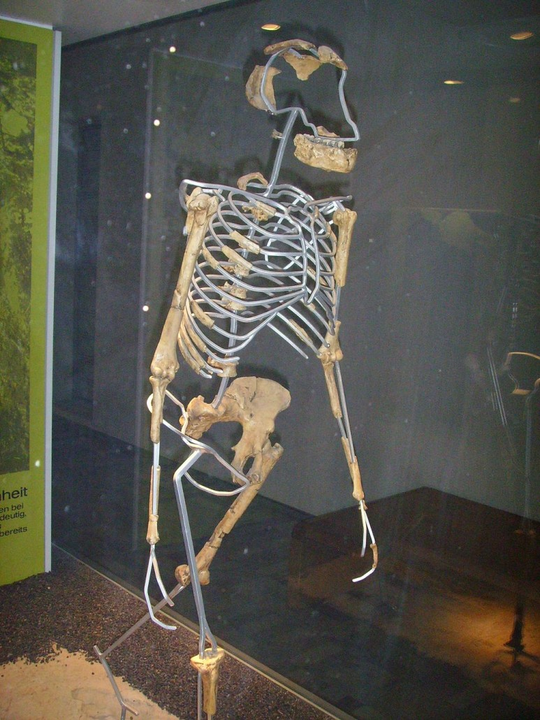 Side view of Australopithecus afarensis (known as Lucy) replica (Nachbildung), located at Senckenberg-Museum, Frankfurt am Main (Germany). Photo by Gerbil, 2006. licensed under the Creative Commons Attribution-Share Alike 3.0 Unported license