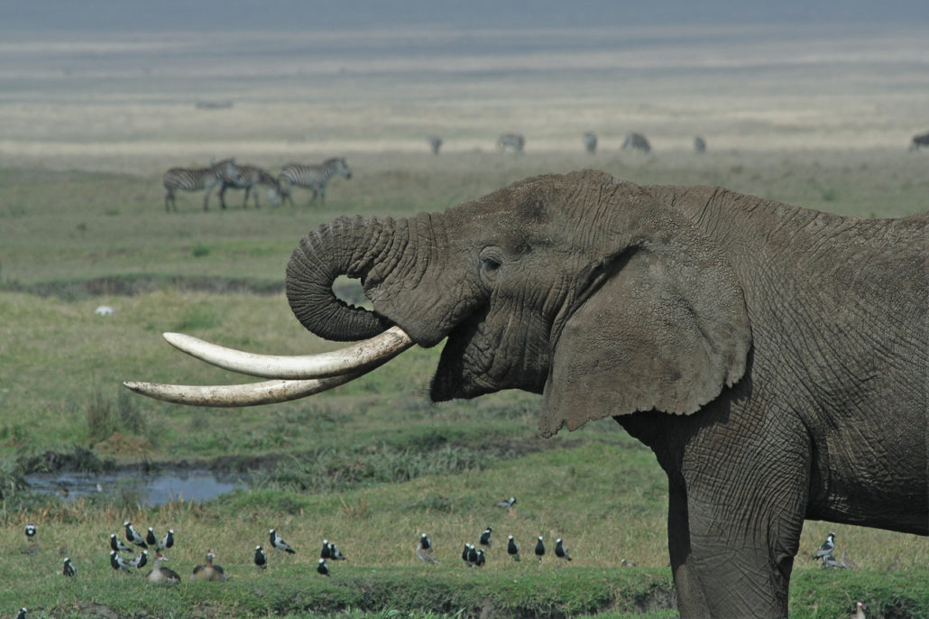Elephants such as this one photographed in Tanzania are being hunted to extinction for their ivory tusks. Photo by Schuyler Shepherd, licensed under the Creative Commons Attribution 2.5 Generic license