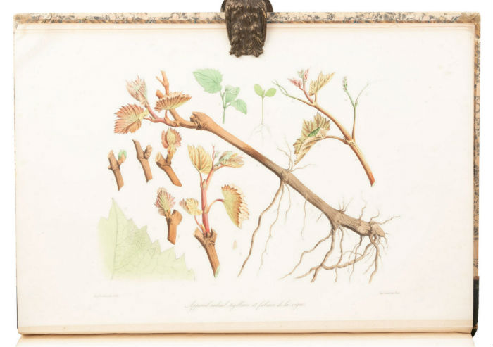 Folio color lithos of grapevines. PBA Galleries image