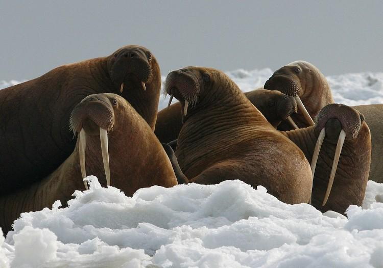 trafficking walrus tusks
