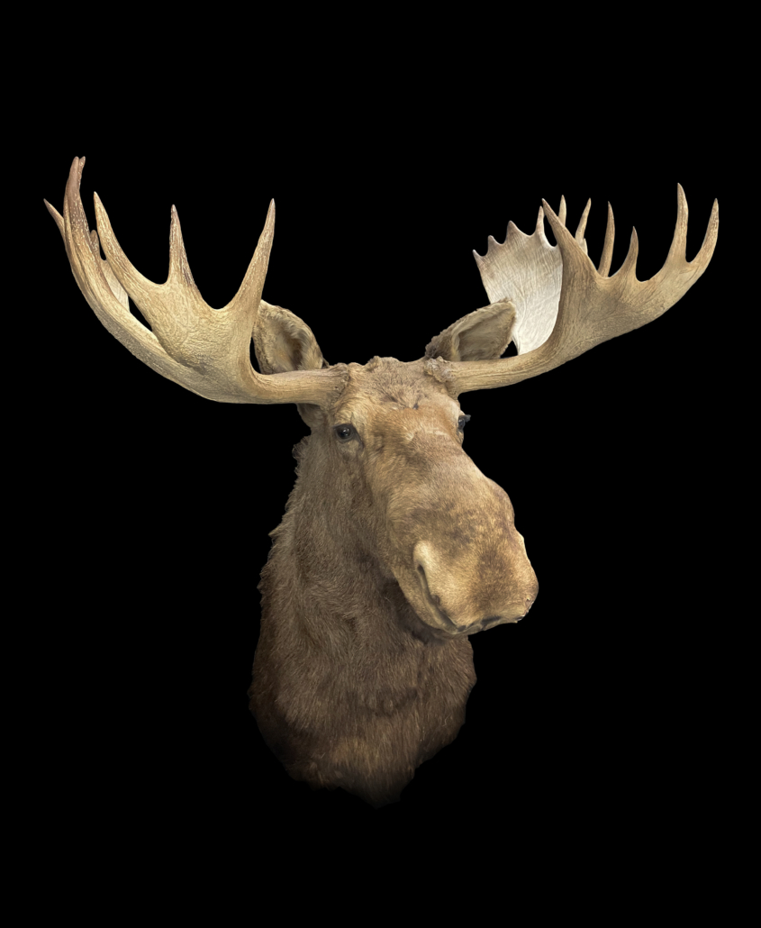 Moose head once owned by artist Andy Warhol