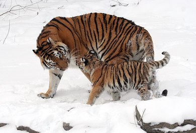 International Tiger Day: Fewer than 4,000 tigers remain in the wild